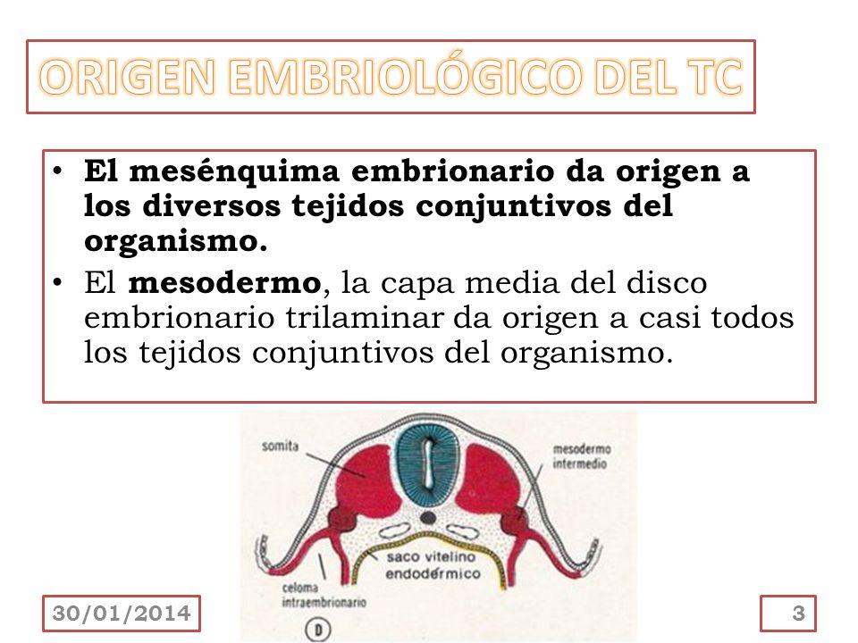 El tejido cartilaginoso es una variedad de tejido conectivo avascular compuesta por células llamadas condrocitos y una matriz extracelular muy especializada (más del 95% del volumen del cartílago).