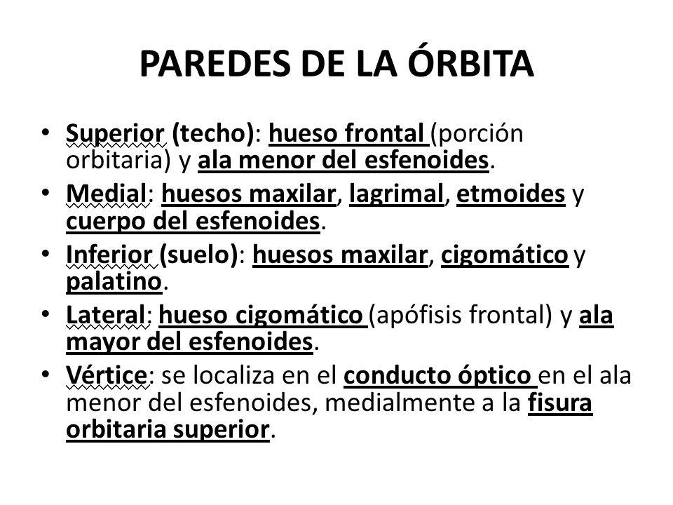 PAREDES DE LA ÓRBITA Superior (techo): hueso frontal (porción orbitaria) y ala menor del esfenoides. Medial: huesos maxilar, lagrimal, etmoides y cuer