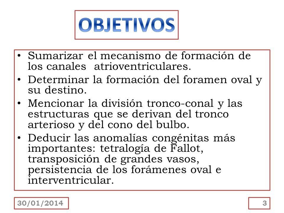 Sumarizar el mecanismo de formación de los canales atrioventriculares. Determinar la formación del foramen oval y su destino. Mencionar la división tr