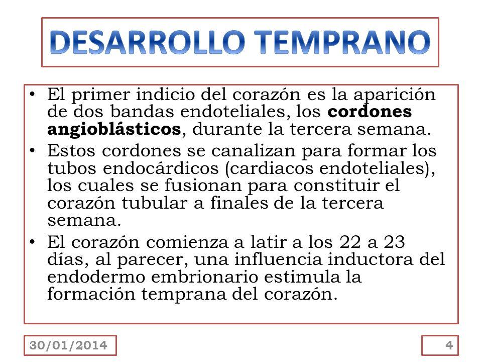 El primer indicio del corazón es la aparición de dos bandas endoteliales, los cordones angioblásticos, durante la tercera semana. Estos cordones se ca