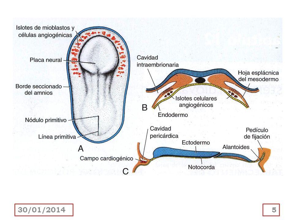 A medida que el corazón primitivo se dobla, la aurícula y el seno venos se sitúan dorsales al tronco arterioso, bulbo arterioso y ventrículo.