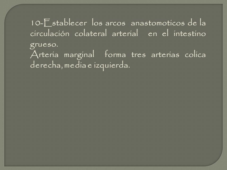 10-Establecer los arcos anastomoticos de la circulación colateral arterial en el intestino grueso. Arteria marginal forma tres arterias colica derecha