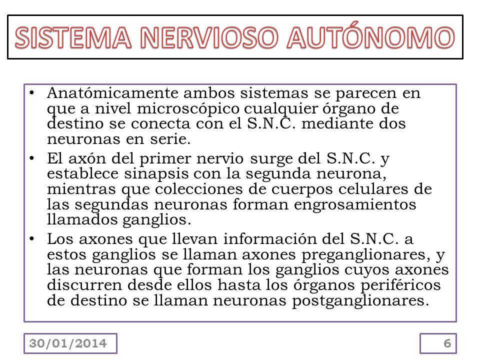 Anatómicamente ambos sistemas se parecen en que a nivel microscópico cualquier órgano de destino se conecta con el S.N.C. mediante dos neuronas en ser