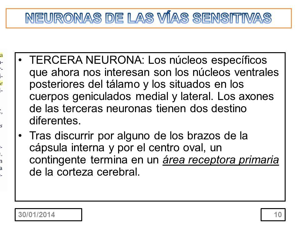 TERCERA NEURONA: Los núcleos específicos que ahora nos interesan son los núcleos ventrales posteriores del tálamo y los situados en los cuerpos genicu