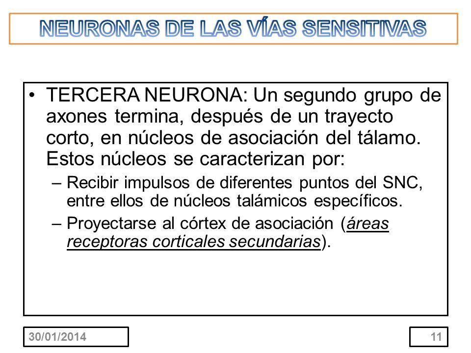 TERCERA NEURONA: Un segundo grupo de axones termina, después de un trayecto corto, en núcleos de asociación del tálamo. Estos núcleos se caracterizan