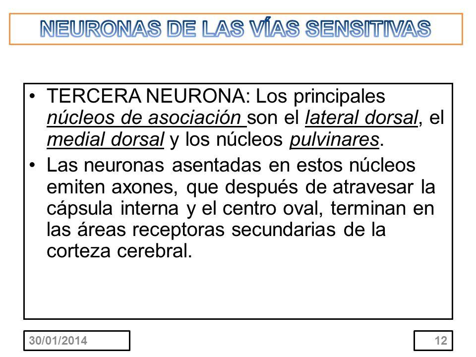 TERCERA NEURONA: Los principales núcleos de asociación son el lateral dorsal, el medial dorsal y los núcleos pulvinares. Las neuronas asentadas en est