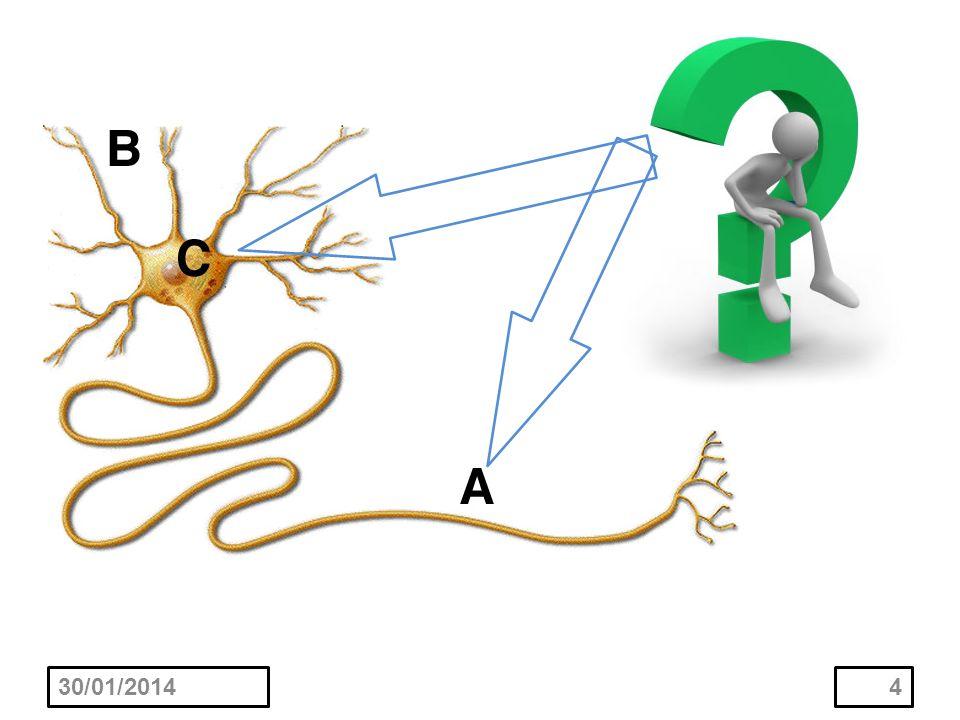 La mayoría de las fibras son directas y terminan estableciendo sinapsis con neuronas de la formación reticular en el bulbo raquídeo, la protuberancia y el mesencéfalo.