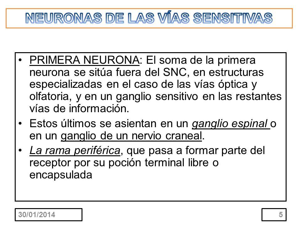 PRIMERA NEURONA: la rama central penetra en la médula espinal por la raíz posterior del nervio espinal, o en el tallo cerebral por el origen aparente del nervio craneal.