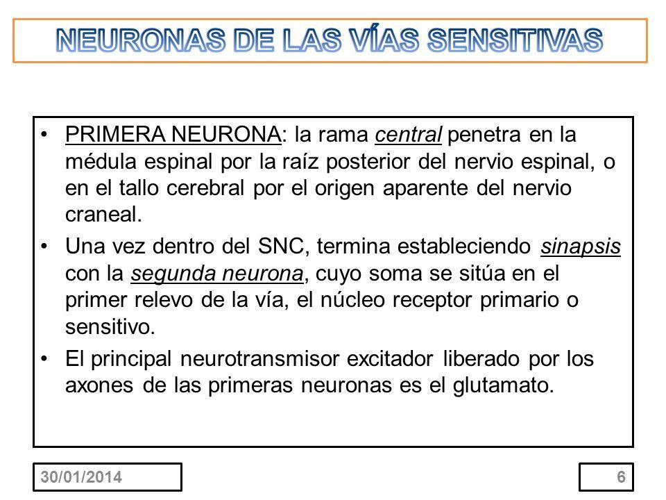 PRIMERA NEURONA: la rama central penetra en la médula espinal por la raíz posterior del nervio espinal, o en el tallo cerebral por el origen aparente