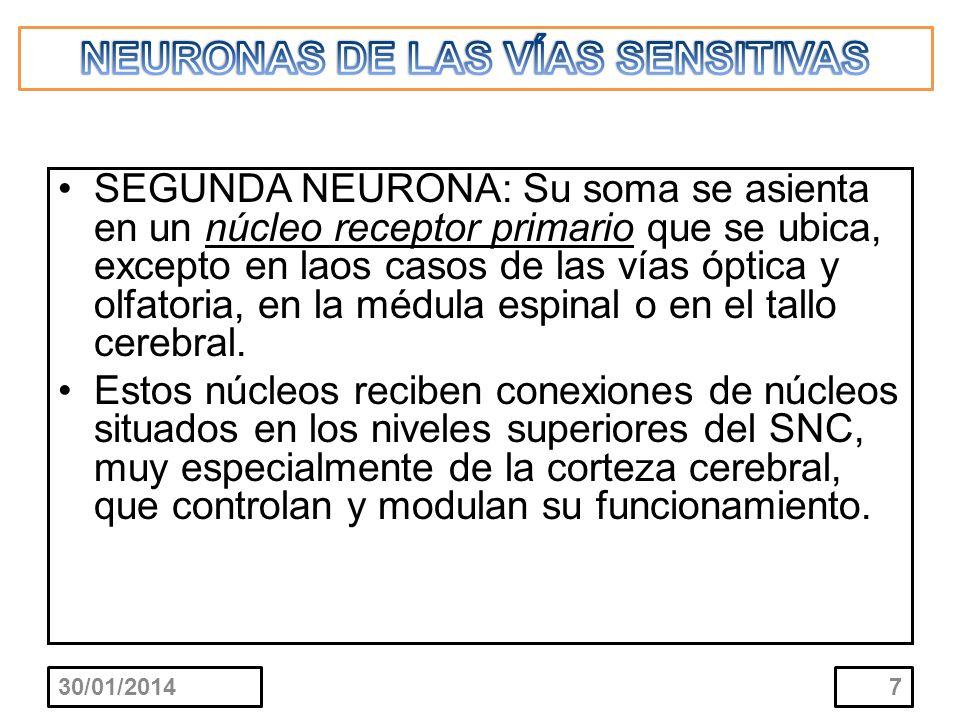 SEGUNDA NEURONA: Su soma se asienta en un núcleo receptor primario que se ubica, excepto en laos casos de las vías óptica y olfatoria, en la médula es