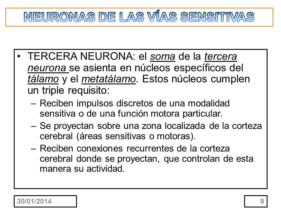 TERCERA NEURONA: el soma de la tercera neurona se asienta en núcleos específicos del tálamo y el metatálamo. Estos núcleos cumplen un triple requisito
