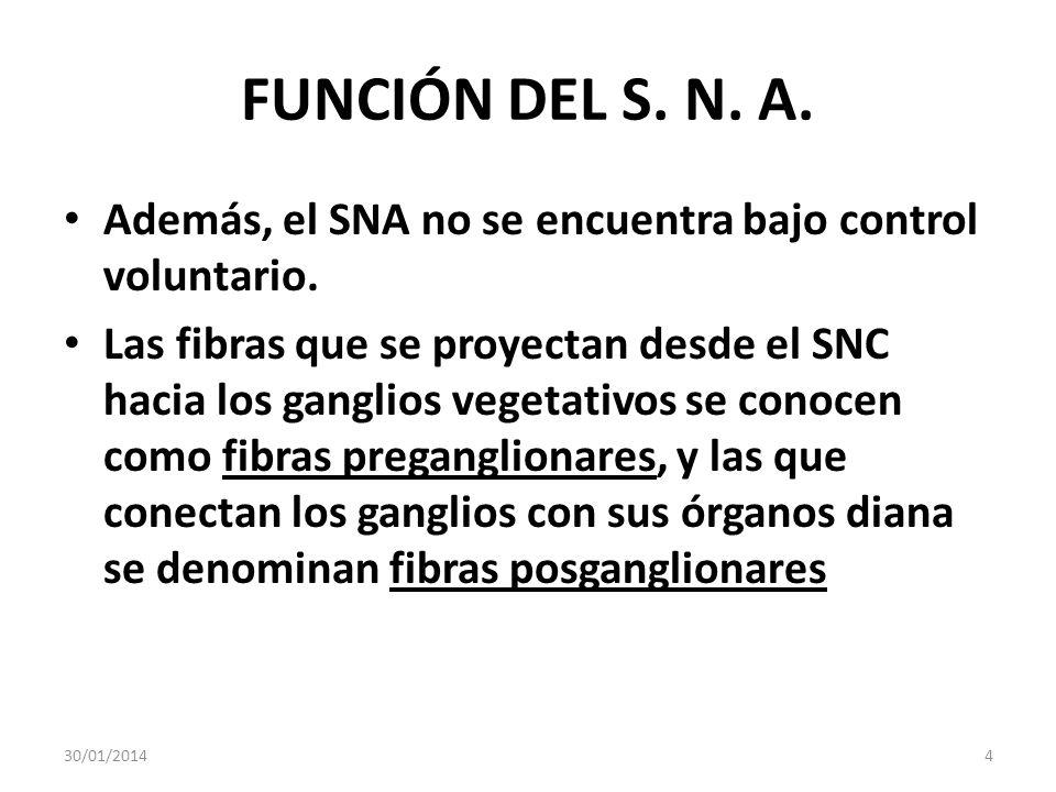 FUNCIÓN DEL S. N. A. Además, el SNA no se encuentra bajo control voluntario. Las fibras que se proyectan desde el SNC hacia los ganglios vegetativos s