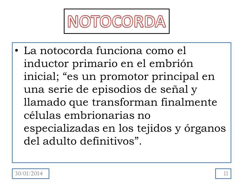 La notocorda funciona como el inductor primario en el embrión inicial; es un promotor principal en una serie de episodios de señal y llamado que transforman finalmente células embrionarias no especializadas en los tejidos y órganos del adulto definitivos.