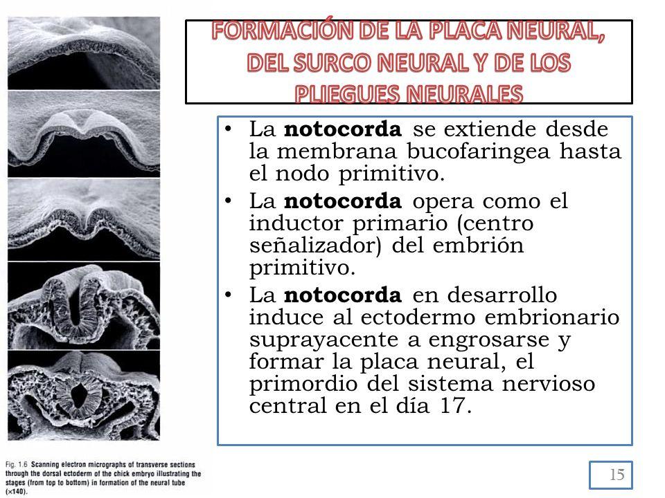 La notocorda se extiende desde la membrana bucofaringea hasta el nodo primitivo.