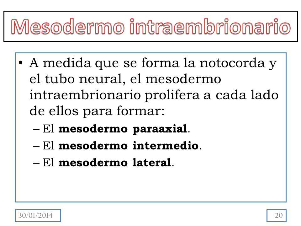 A medida que se forma la notocorda y el tubo neural, el mesodermo intraembrionario prolifera a cada lado de ellos para formar: – El mesodermo paraaxial.