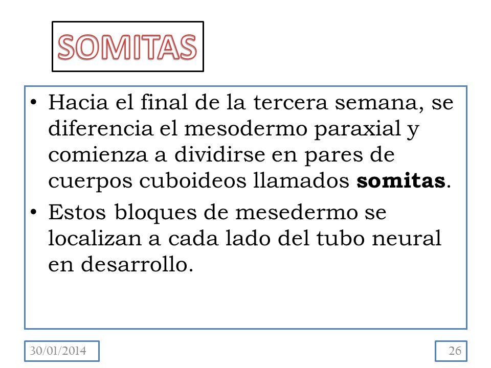 Hacia el final de la tercera semana, se diferencia el mesodermo paraxial y comienza a dividirse en pares de cuerpos cuboideos llamados somitas.