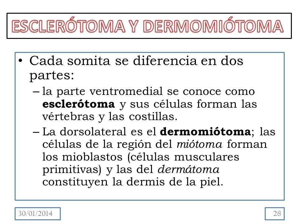 Cada somita se diferencia en dos partes: – la parte ventromedial se conoce como esclerótoma y sus células forman las vértebras y las costillas.