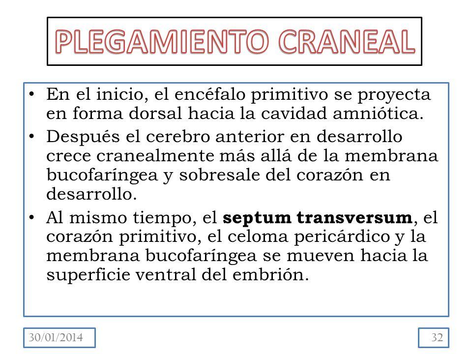 En el inicio, el encéfalo primitivo se proyecta en forma dorsal hacia la cavidad amniótica.