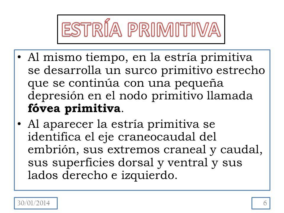 Al mismo tiempo, en la estría primitiva se desarrolla un surco primitivo estrecho que se continúa con una pequeña depresión en el nodo primitivo llamada fóvea primitiva.