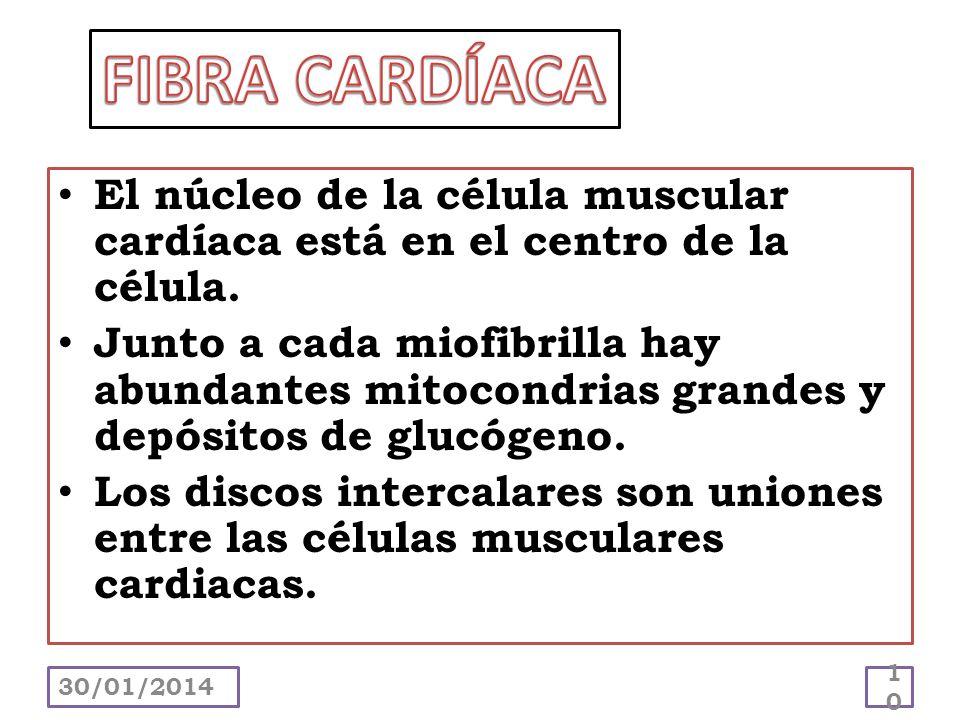 El núcleo de la célula muscular cardíaca está en el centro de la célula. Junto a cada miofibrilla hay abundantes mitocondrias grandes y depósitos de g
