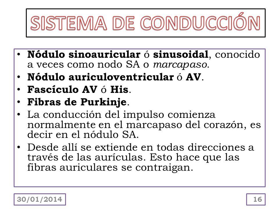 Nódulo sinoauricular ó sinusoidal, conocido a veces como nodo SA o marcapaso. Nódulo auriculoventricular ó AV. Fascículo AV ó His. Fibras de Purkinje.