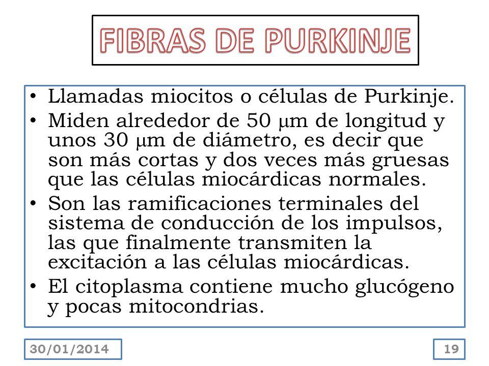 Llamadas miocitos o células de Purkinje. Miden alrededor de 50 m de longitud y unos 30 m de diámetro, es decir que son más cortas y dos veces más grue