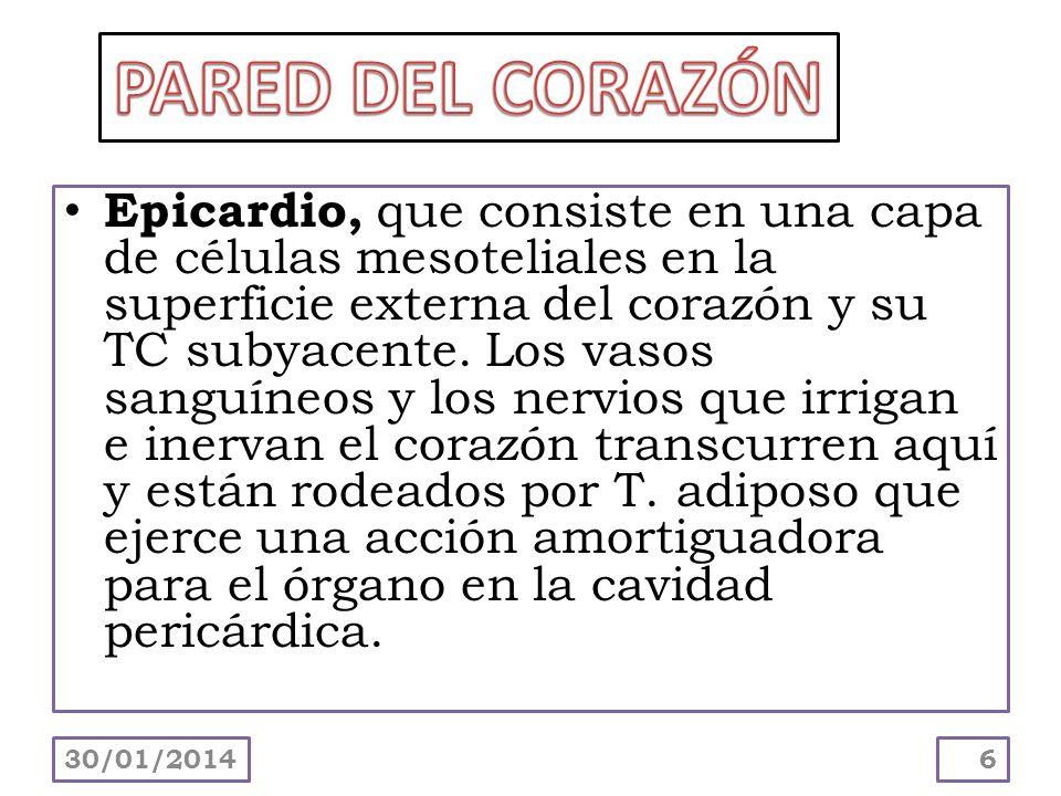 Epicardio, que consiste en una capa de células mesoteliales en la superficie externa del corazón y su TC subyacente. Los vasos sanguíneos y los nervio