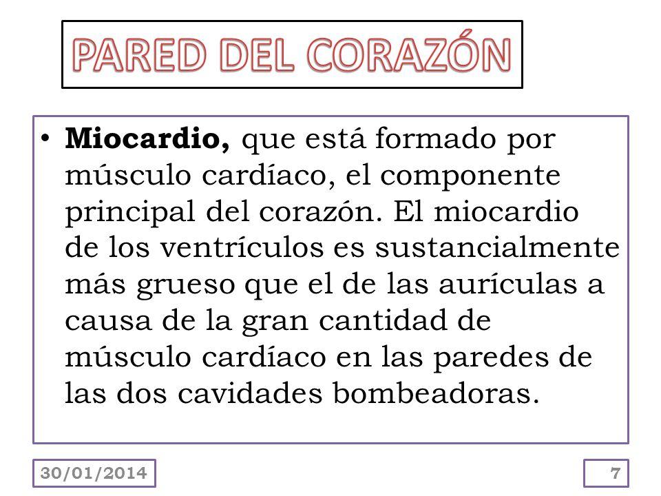 Miocardio, que está formado por músculo cardíaco, el componente principal del corazón. El miocardio de los ventrículos es sustancialmente más grueso q