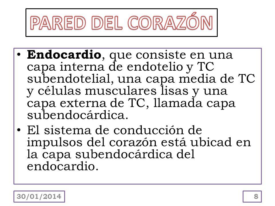 Endocardio, que consiste en una capa interna de endotelio y TC subendotelial, una capa media de TC y células musculares lisas y una capa externa de TC