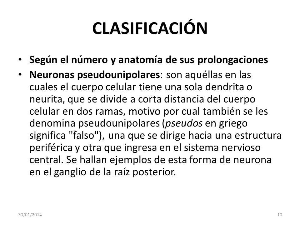 CLASIFICACIÓN Según el número y anatomía de sus prolongaciones Neuronas pseudounipolares: son aquéllas en las cuales el cuerpo celular tiene una sola