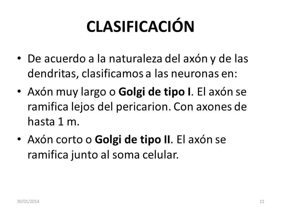 CLASIFICACIÓN De acuerdo a la naturaleza del axón y de las dendritas, clasificamos a las neuronas en: Axón muy largo o Golgi de tipo I. El axón se ram
