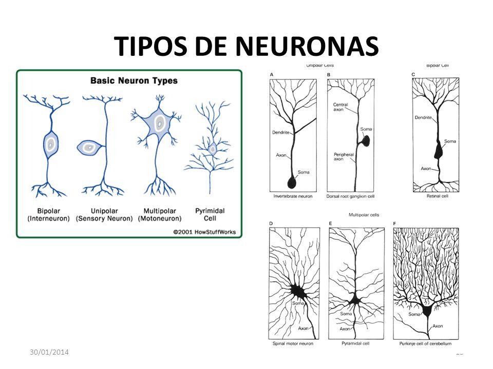 TIPOS DE NEURONAS 30/01/201413
