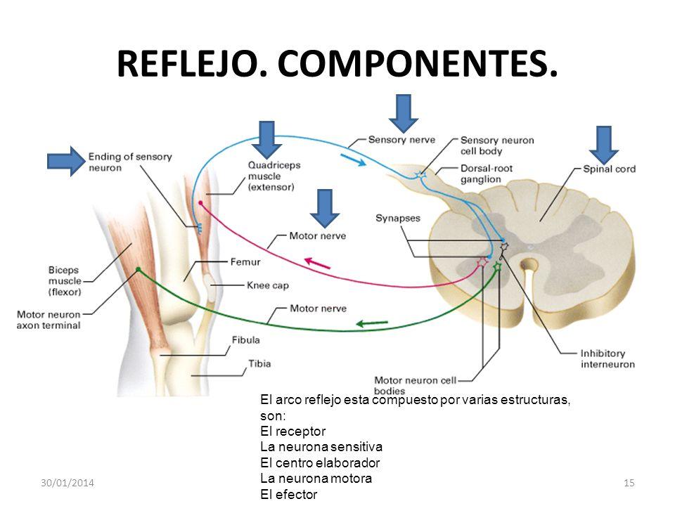 REFLEJO. COMPONENTES. 30/01/201415 El arco reflejo esta compuesto por varias estructuras, son: El receptor La neurona sensitiva El centro elaborador L