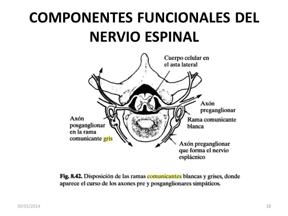 COMPONENTES FUNCIONALES DEL NERVIO ESPINAL 30/01/201418