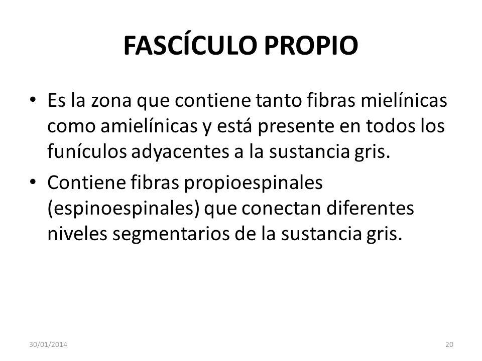 FASCÍCULO PROPIO Es la zona que contiene tanto fibras mielínicas como amielínicas y está presente en todos los funículos adyacentes a la sustancia gri