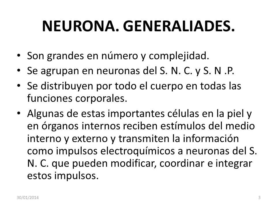NEURONA. GENERALIADES. Son grandes en número y complejidad. Se agrupan en neuronas del S. N. C. y S. N.P. Se distribuyen por todo el cuerpo en todas l