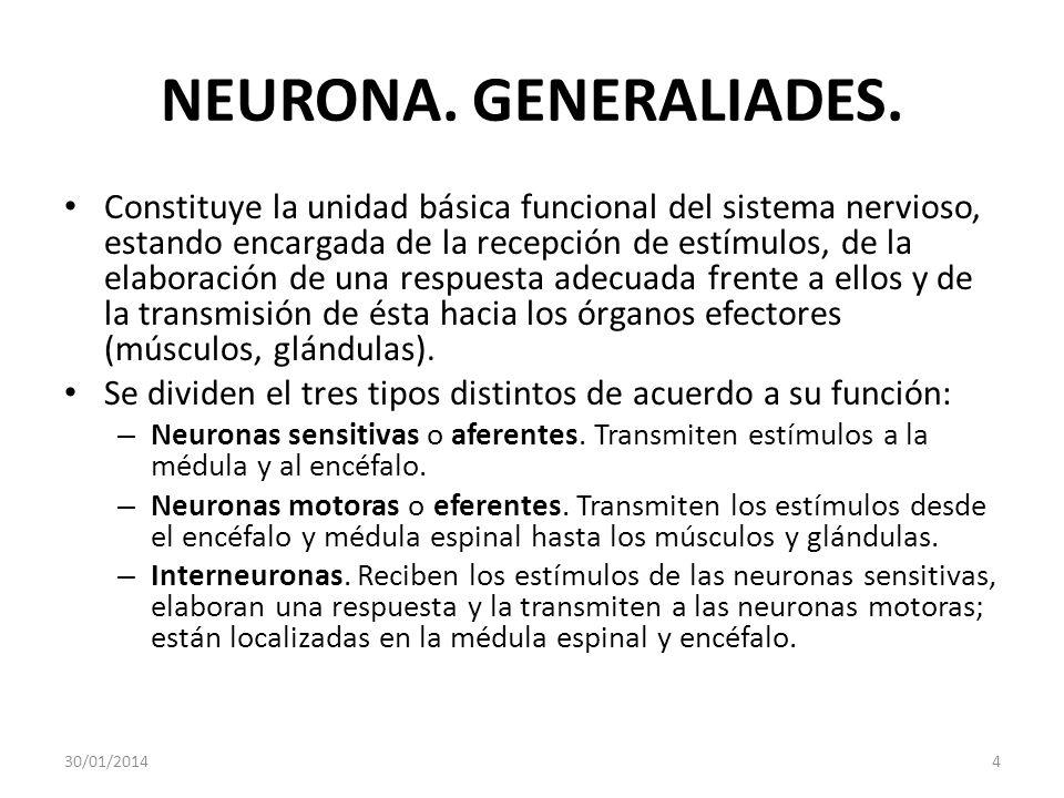 NEURONA. GENERALIADES. Constituye la unidad básica funcional del sistema nervioso, estando encargada de la recepción de estímulos, de la elaboración d