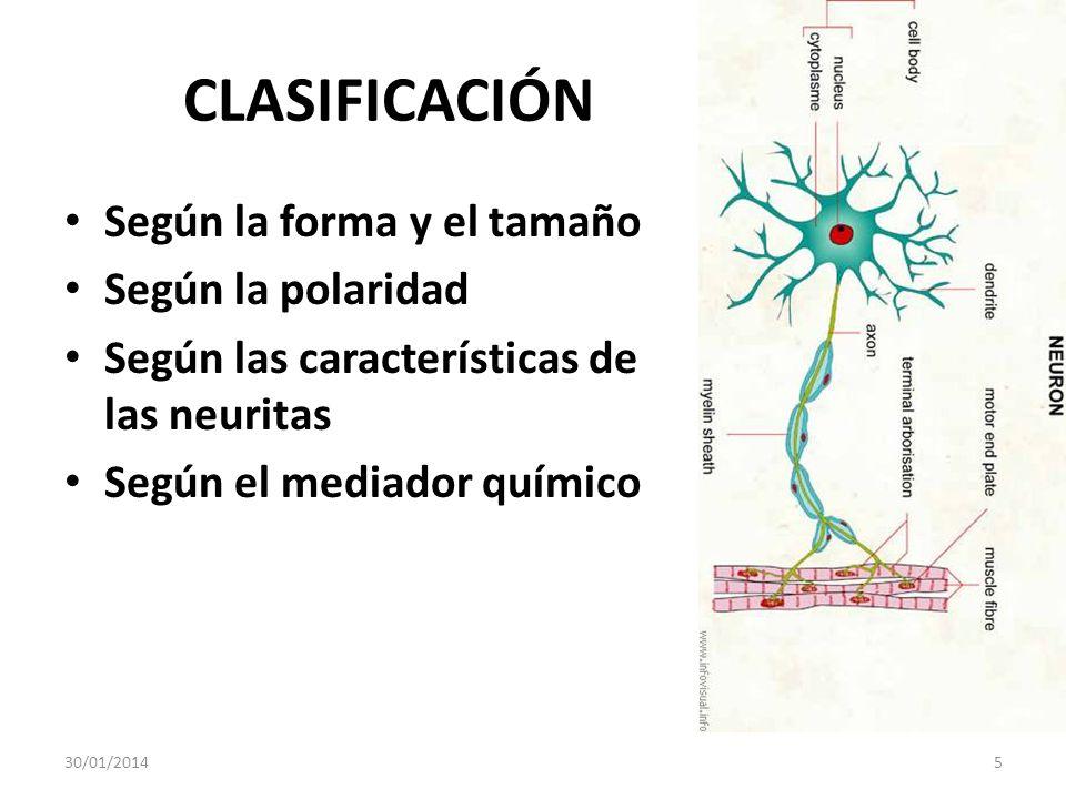 CLASIFICACIÓN Según la forma y el tamaño Según la polaridad Según las características de las neuritas Según el mediador químico 30/01/20145