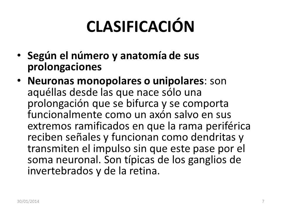 CLASIFICACIÓN Según el número y anatomía de sus prolongaciones Neuronas monopolares o unipolares: son aquéllas desde las que nace sólo una prolongació