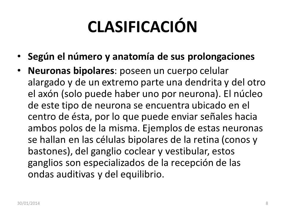 CLASIFICACIÓN Según el número y anatomía de sus prolongaciones Neuronas bipolares: poseen un cuerpo celular alargado y de un extremo parte una dendrit