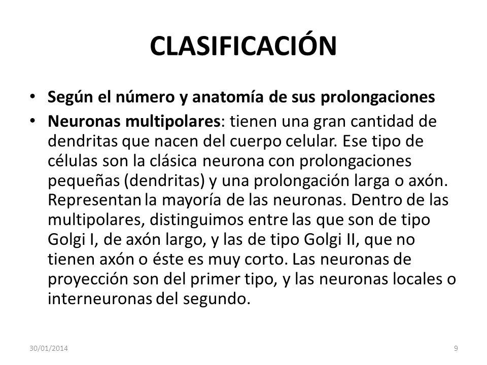 CLASIFICACIÓN Según el número y anatomía de sus prolongaciones Neuronas multipolares: tienen una gran cantidad de dendritas que nacen del cuerpo celul