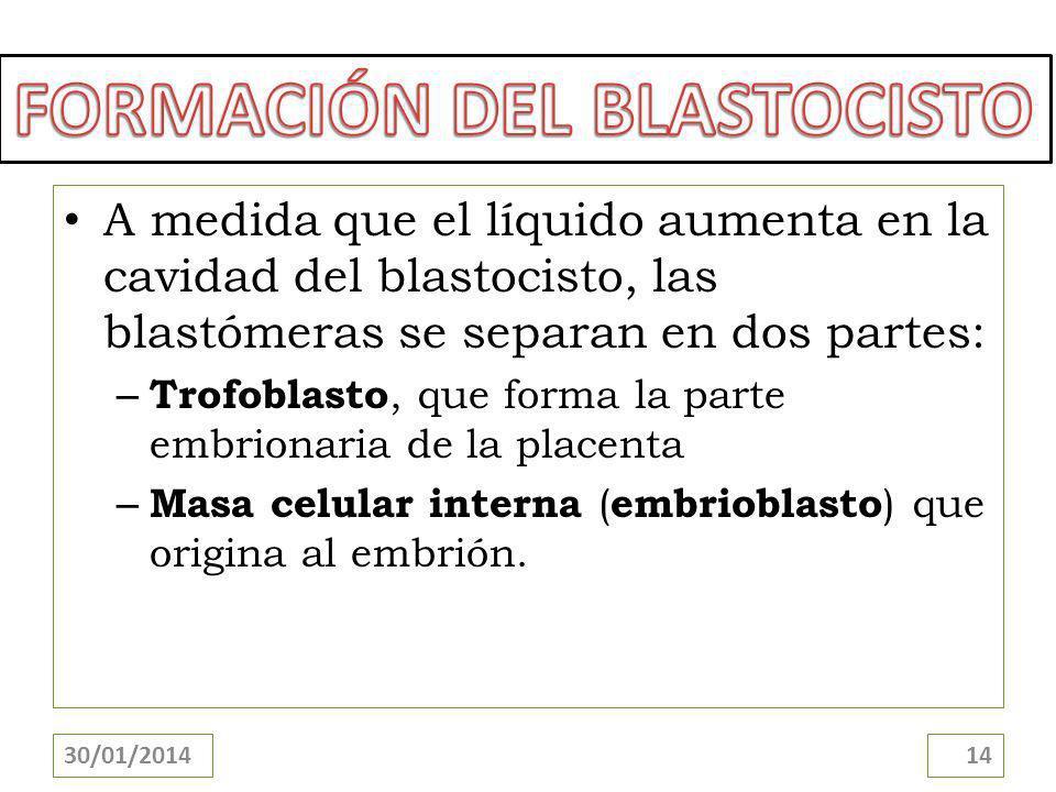 A medida que el líquido aumenta en la cavidad del blastocisto, las blastómeras se separan en dos partes: – Trofoblasto, que forma la parte embrionaria