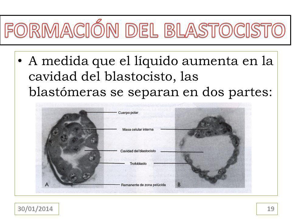 A medida que el líquido aumenta en la cavidad del blastocisto, las blastómeras se separan en dos partes: 30/01/201419