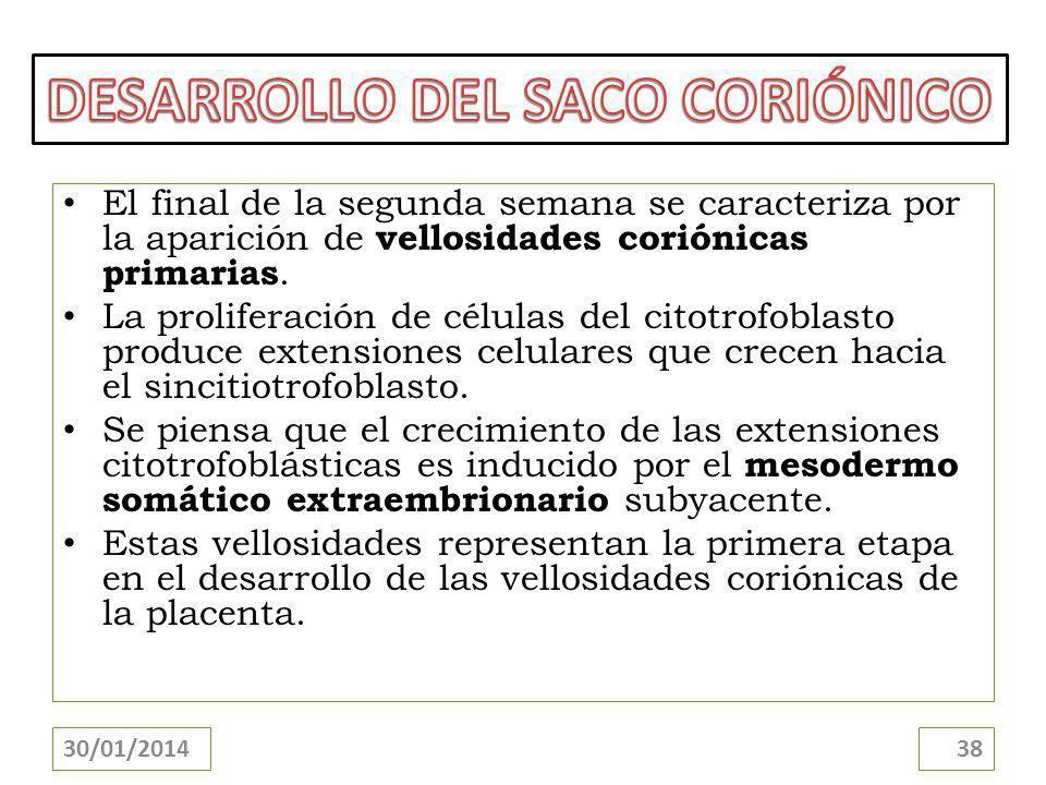 El final de la segunda semana se caracteriza por la aparición de vellosidades coriónicas primarias. La proliferación de células del citotrofoblasto pr
