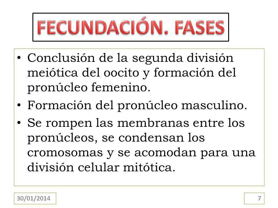Conclusión de la segunda división meiótica del oocito y formación del pronúcleo femenino.