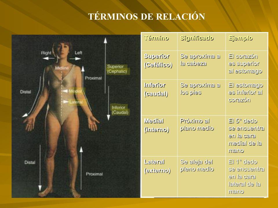 TÉRMINOS DE RELACIÓNTérminoSignificadoEjemploSuperior(Cefálico) Se aproxima a la cabeza El corazón es superior al estomago Inferior(caudal) Se aproxima a los pies El estomago es inferior al corazón Medial(interno) Próximo al plano medio El 5° dedo se encuentra en la cara medial de la mano Lateral(externo) Se aleja del pleno medio El 1° dedo se encuentra en la cara lateral de la mano