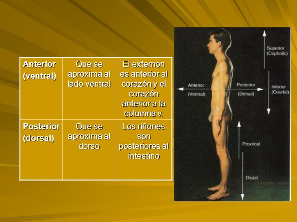 Anterior(ventral) Que se aproxima al lado ventral El externón es anterior al corazón y el corazón anterior a la columna v.