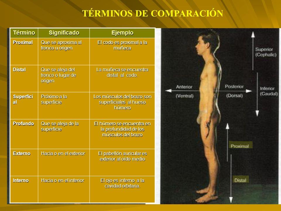TérminoSignificadoEjemploProximal Que se aproxima al tronco u origen El codo es proximal a la muñeca Distal Que se aleja del tronco o lugar de origen La muñeca se encuentra distal al codo.