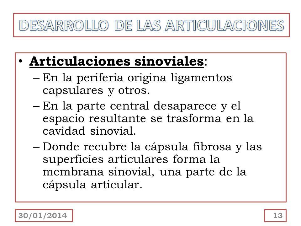Articulaciones sinoviales : – En la periferia origina ligamentos capsulares y otros. – En la parte central desaparece y el espacio resultante se trasf