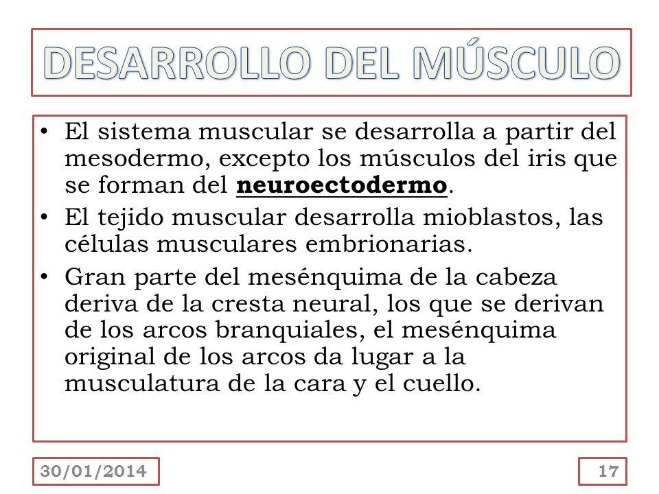El sistema muscular se desarrolla a partir del mesodermo, excepto los músculos del iris que se forman del neuroectodermo. El tejido muscular desarroll
